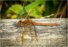 Common Darter Dragonfly (Male).