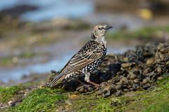 Photo of Starling on the shore
