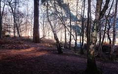 Photo of Pines
