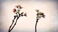 ボケている桜 05