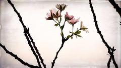 ボケている桜 04