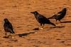 Crows on Seafield Beach, Kirkcaldy