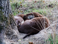 Photo of Otters
