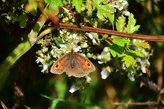 Photo of 20STA318 Meadow brown, near Perton