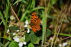 Photo of 20STA317 Comma butterfly, near Perton