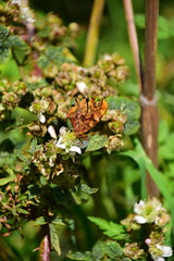 Photo of 20STA319 Comma butterfly, near Perton