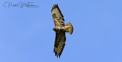 Photo of Soaring Buzzard
