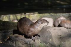 Asian Short-clawed Otter (Aonyx cinereus)