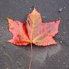 Damp autumn leaf, Haggs