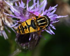 Photo of Sun fly (Helophilus pendulus)