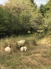 Les Brebis sur les Plateaux floiracais