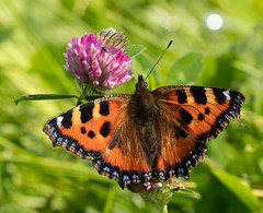 Photo of Small Tortoiseshell on Pink Clover