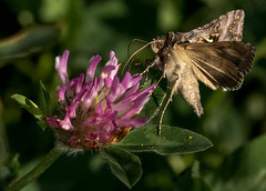 Photo of Silver Y Moth on Pink Clover