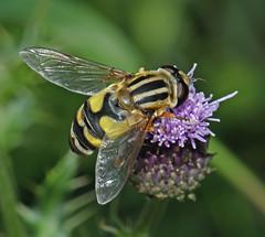 Photo of Sun fly (Helophilus trivittatus)