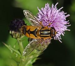 Photo of Sun fly male (Helophilus hybridus)