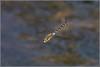 Migrant hawker Dragonfly in flight (Aeshna mixta)