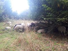 Les brebis à Floirac