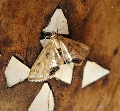 Small China Mark. Cataclysta lemnata