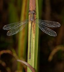 Photo of Image 2 0f 2: Willow Emerald Damselfly