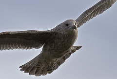 Photo of Immature Herring Gull