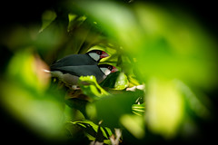 Photo of Java sparrows