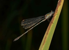 Photo of Image 1 of 2: Willow Emerald Damselfly