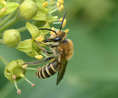 Photo of Ivy Bee
