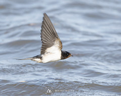 Photo of Swallow over sea