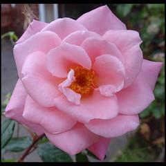 Photo of Pink Rose
