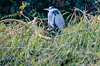 Watchful heron on willow