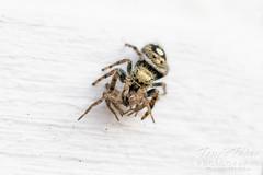 Spider dines on spider