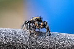 Apache jumping spider hanging out