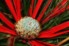 Photo of Fascicularia bicolor
