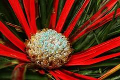 Photo of Fascicularia bicolor