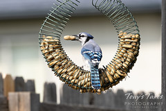 Blue jay grabs a snack