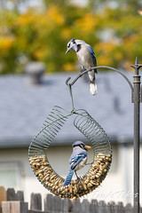 Blue jays at the peanut feeder