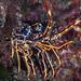 Palinurus elephas - European spiny lobster