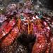 Dardanus calidus - Mediterranean hermit crab