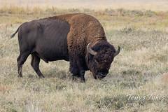 Grazing bison bull