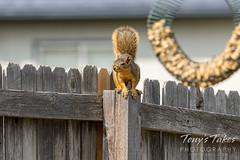 Squirrel preparing to trespass
