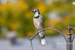 Blue jay and a hint of fall colors