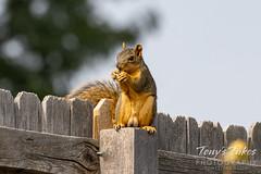 Squirrel enjoys a snack