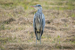 Photo of Grey Heron 502_8153.jpg