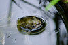 Frog in water, bird bath
