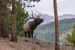 Elk bull bugles in the pre-dawn light