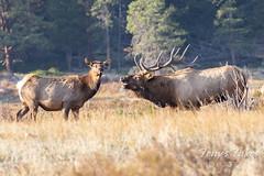 Elk bull bugling to his harem