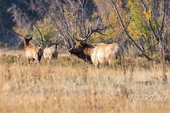 Elk bull watching over his harem