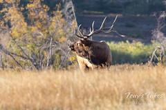 Elk bull keeping watch on his competitors