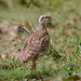 A Grey Francolin Chick loitering in the open