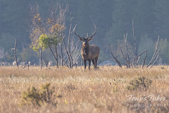 Young elk bull in the morning haze